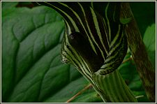 jackinthepulpit