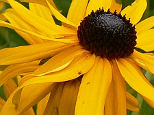 fouryearrudbeckia